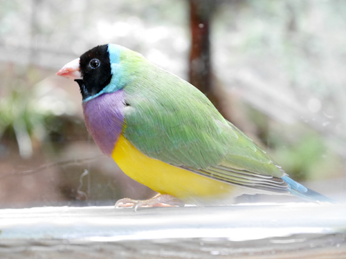 Gouldian finch, Blackbutt Reserve, Newcastle, June 2014