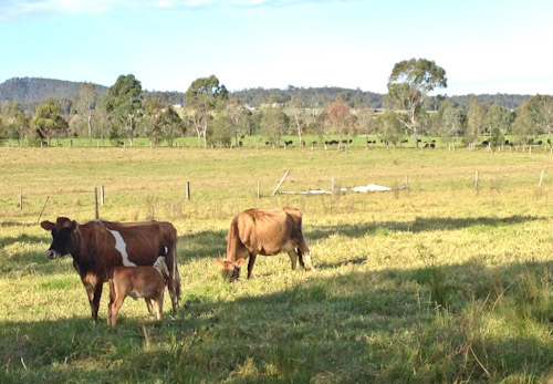 Cattle at New Gokula Hare Krishna Farm, Millfield, NSW, June 2014