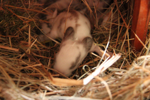 Rabbit kittens, August 2014