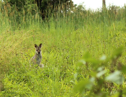 Wallaby, Mountain Top, NSW, January 2015