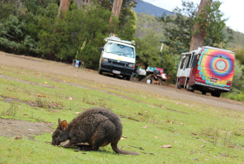 Pademelon and our vehicles at the campground, Mt Field National Park, Tasmania, January 2015