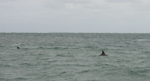 Dolphins off North Stradbroke Island, February 2009