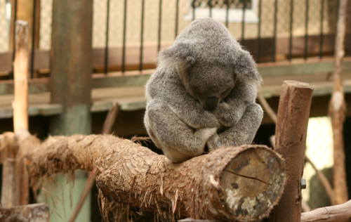 Daisy Hill Koala centre, June 2010