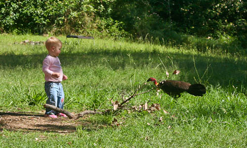 Facing a bush turkey at Heifer Creek, November 2010