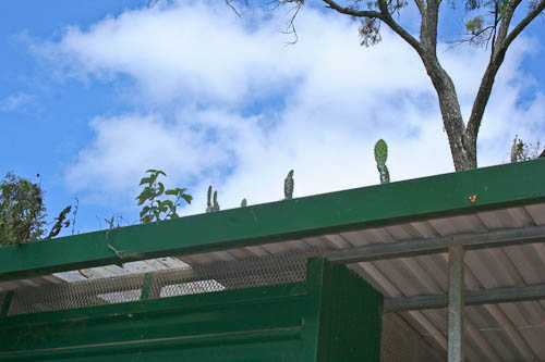 Funny cactus growing on the roof of the toilets at Heifer Creek, November 2010