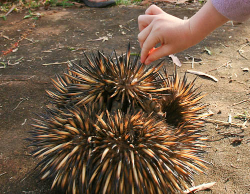 Touching an echidna, November 2010