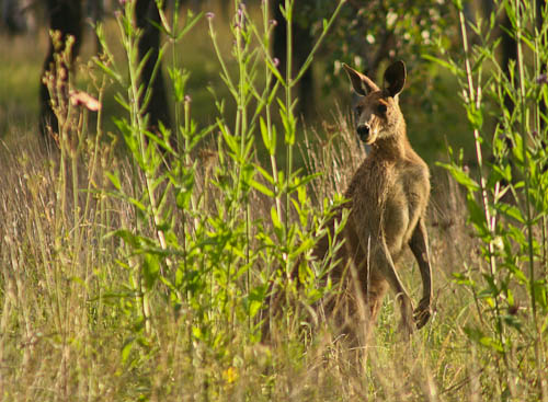 Grey kangaroo, November 2010