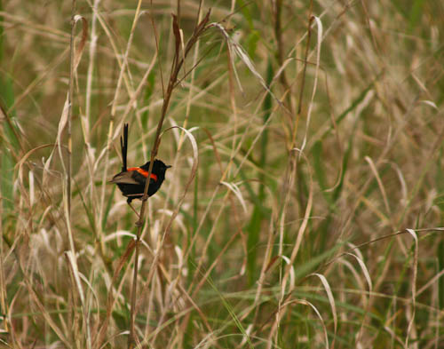 Red-backed fairy wren, November 2010