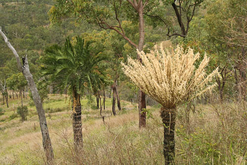 Cycad trees, Mount Morgan, November 2010