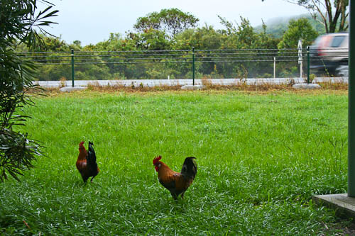 Wild chooks near the motorway, December 2010