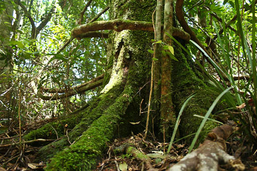 Rainforest tree in the Dorrigo National Park, January 2011