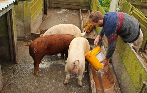 Feeding the pigs, June 2011