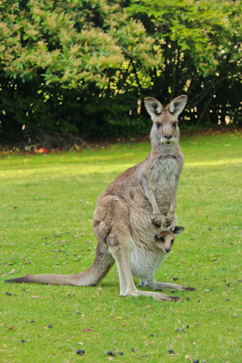 Kangaroos at Clarence House, October 2011