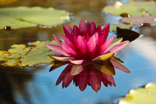 Beautiful water lily, November 2011