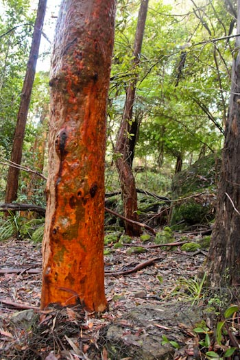 Colourful angophora, February 2012