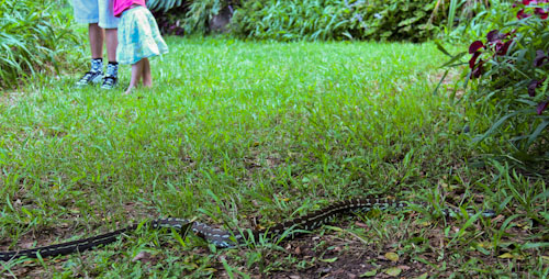Watching a carpet snake, March 2012