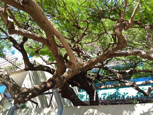 Flamboyant tree outside the Queensland State Library, September 2012