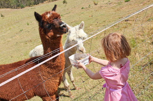 Brioni feeds alpacas, Kilcoy, Sunshine Coast, September 2012