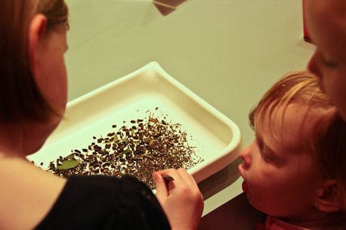 Looking through stick-insect eggs and droppings, Queensland Museum, September 2012