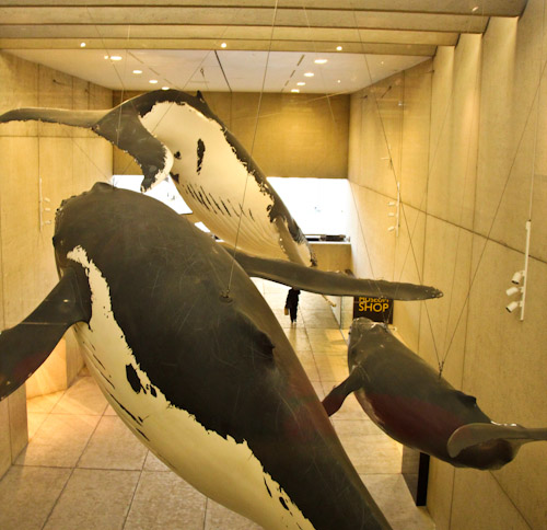 Humpbacks in the Whale Mall, Queensland Museum, September 2012