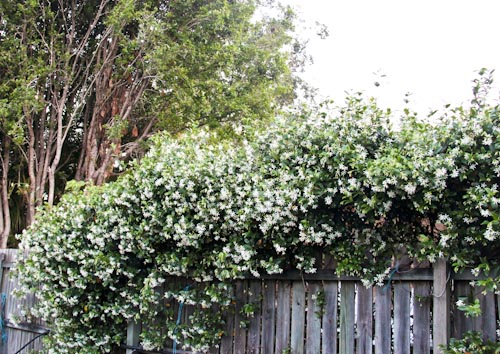 Fast growing evergreen shrubs lookup beforebuying for Fast growing flowering vines for fences