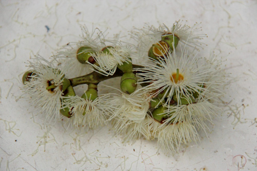 Cadaghi gum in flower, Corymbia torelliana, November 2012