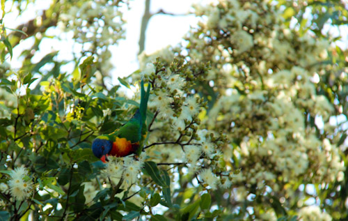 Rainbow lorikeet in Cadaghi gum in flower, Corymbia torelliana, November 2012