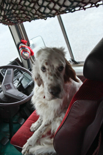 Olive the dog in the drivers seat, November 2012