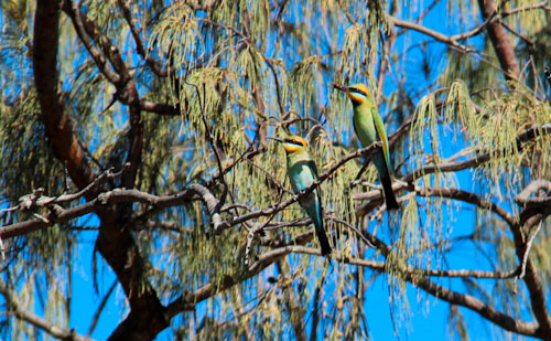 Rainbow bee-eaters, Campwin Beach, Sarina, near Mackay, Queensland, November 2012