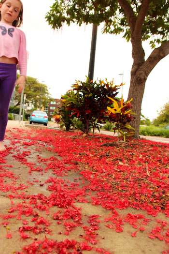 Fallen red blossom, Townsville, November 2012