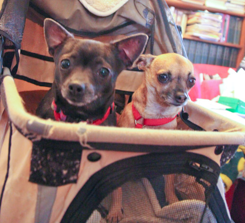 Chihuahuas in a pram, December 2012
