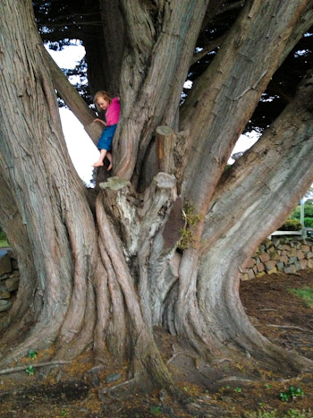 Brioni climbing a grand old tree, December 2012