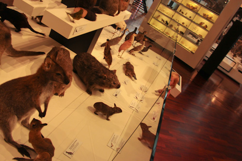 Taxidermied animals, QVMAG, Inveresk, Launceston, Tasmania, January 2013