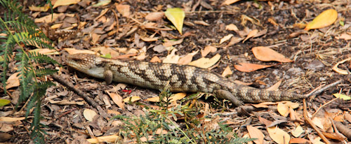Blue-tongue lizard, Narawntapu National Park, Tasmania, January 2013