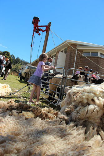 Sheep shearing pen at Middleton Country Fair, Tasmania, January 2013