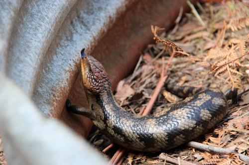 Blue-tongue lizard, Middleton Country Fair, Tasmania, February 2013