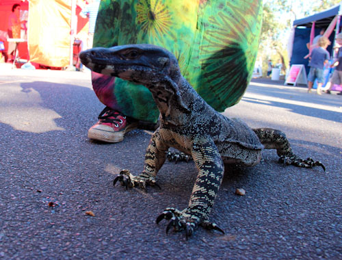 Geri the goanna, Didge Festival, Melbourne, March 2013