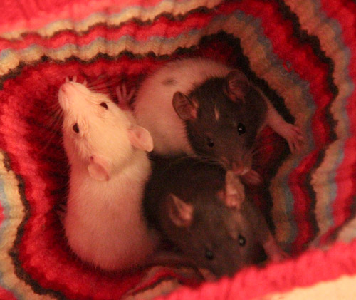 Three rats, July 2013
