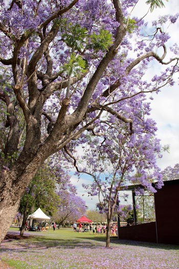 Jacaranda Festival, Grafton, October 2013