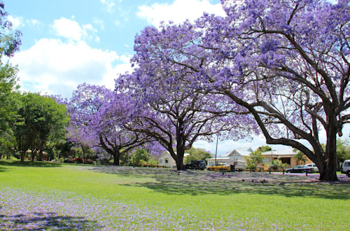 Jacarandas in bloom, Grafton, October 2013