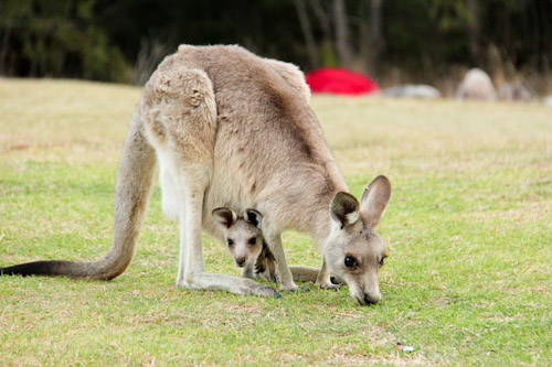 Kangaroo and joey at Mann River Nature Reserve, NSW, October 2013