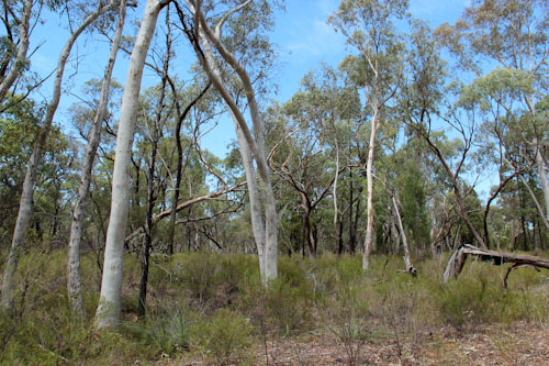 Pilliga Forest, NSW, October 2013