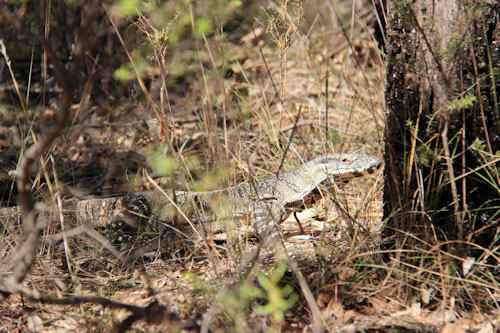 Goanna in the bush, outside Gilgandra, NSW, October 2013