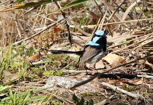 Blue superb fairy-wren, Urbenville, August 2014