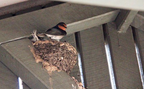 Welcome swallow on nest, Urbenville, NSW, August 2014