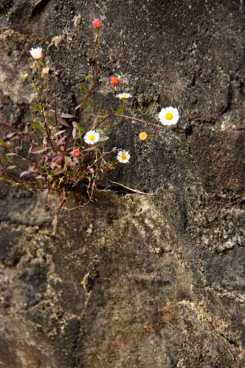 Flowers growing from a rock wall, Tasmania, December 2012